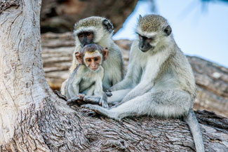 3 baboons sitting together on the Ekukhanyeni retreat grounds